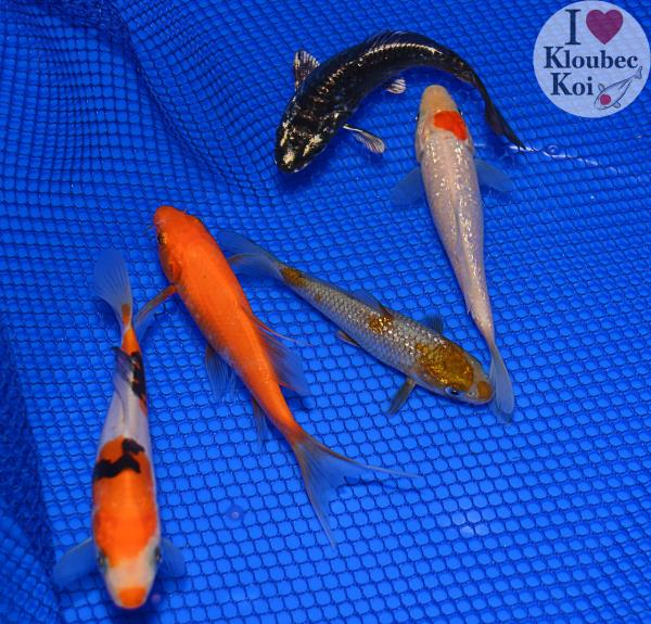 5 6 pond pack live koi fish kloubec koi 0677h10 for What fish can live with koi