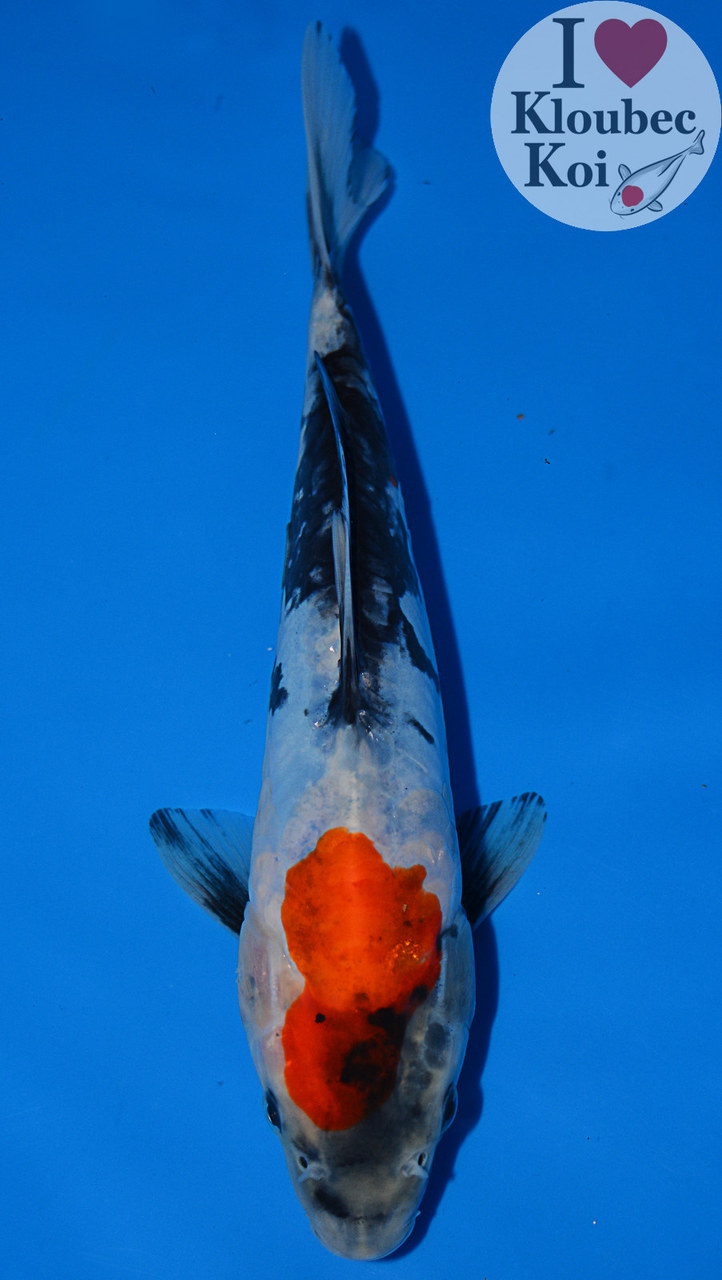 9 5 doitsu showa live koi fish kloubec koi 367a2 ebay for Koi fish environment