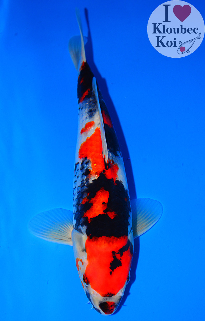 13 5 034 showa live koi fish kloubec koi 8494w8 ebay for Live koi for sale