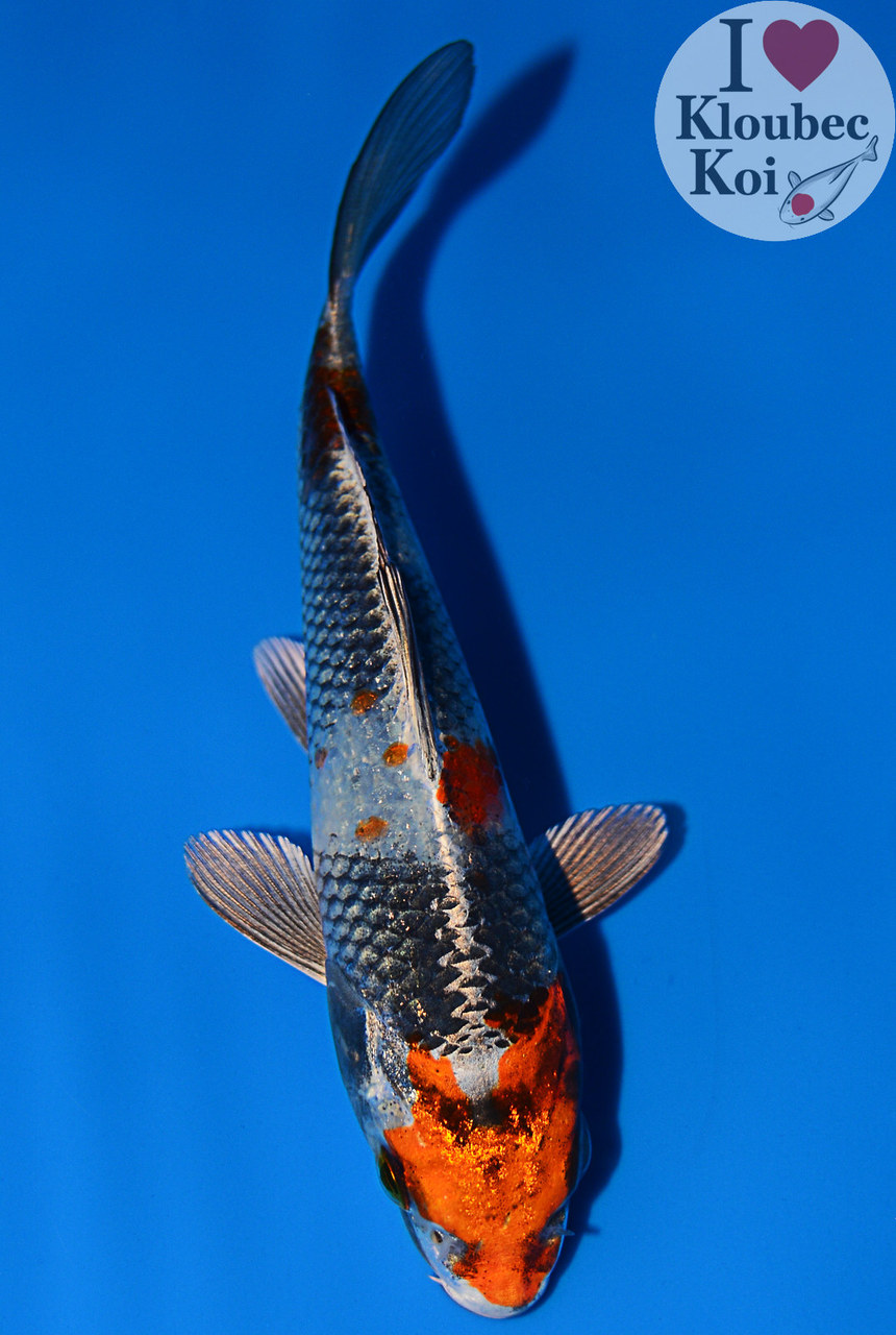 6 kin showa live koi fish kloubec koi 9601g7 ebay for Live koi fish