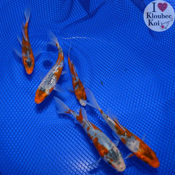 5 goshiki pond pack live koi fish kloubec koi 1765j2 for Goshiki koi fish for sale