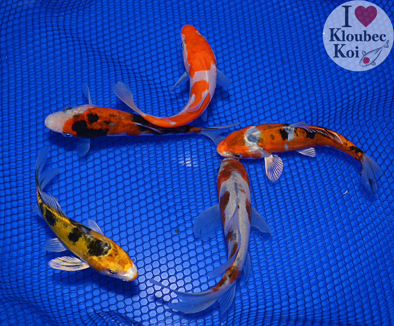 4 5 pond pack live koi fish kloubec koi 1293h6 ebay for What fish can live with koi