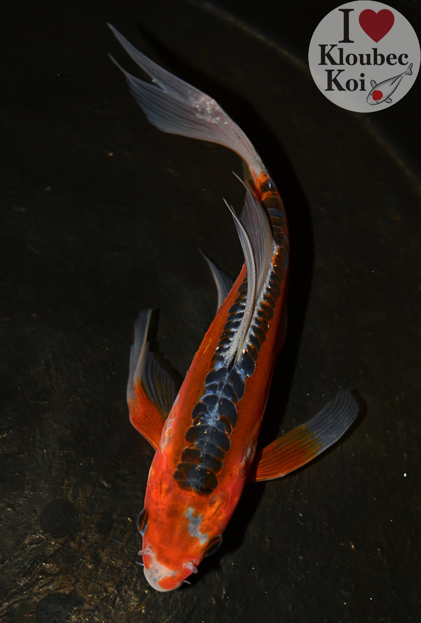 7 shusui butterfly live koi fish kloubec koi 8697p1 ebay for Live butterfly koi for sale