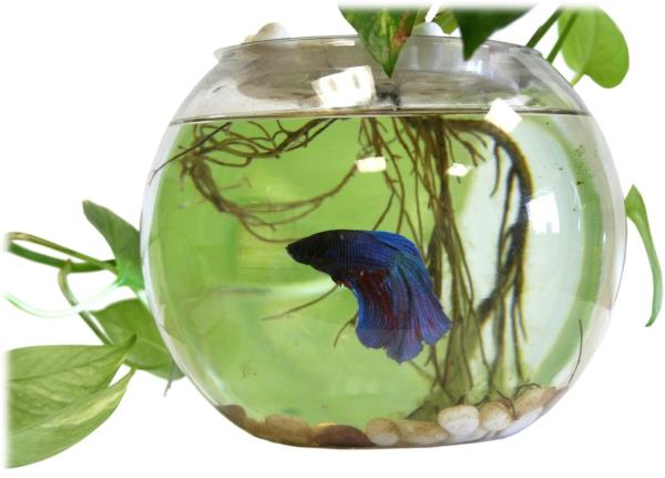 Indoor table top live water garden fish bowl grow plants for Growing plants with fish