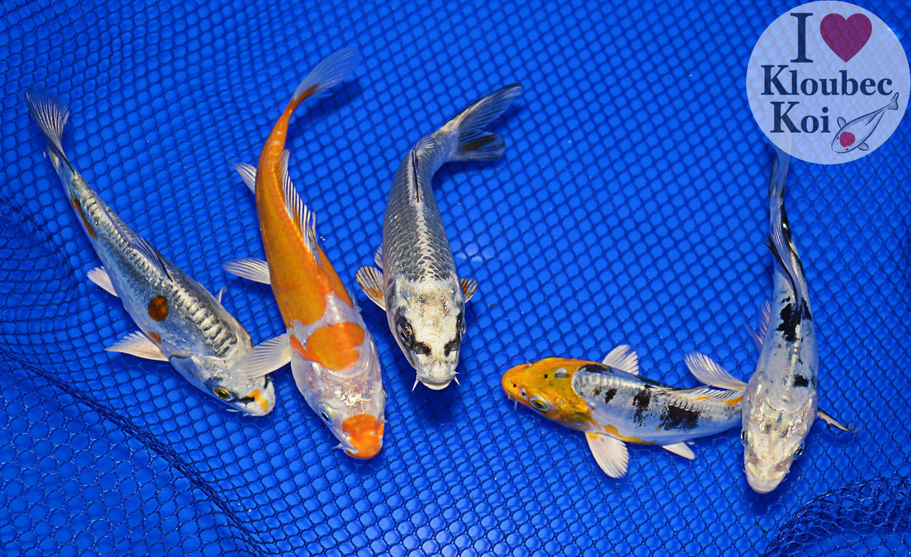4 5 pond pack live koi fish kloubec koi 1263j4 ebay for Koi fish environment