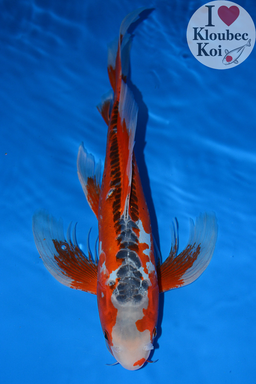 12 5 shusui butterfly live koi fish kloubec koi 0536b3 for Live koi fish