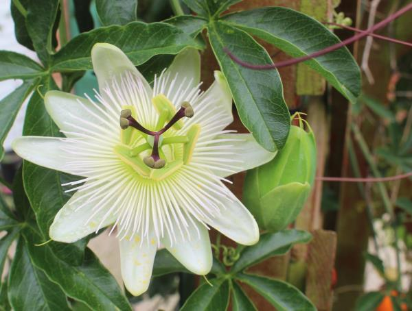 Passiflora Caerulea Hardy Blue Passion Flower 15 Seeds Ebay
